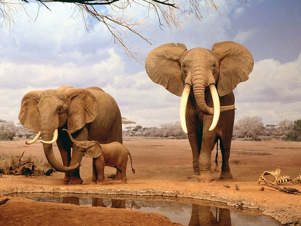 Family Indian Elephant photo or wallpaper