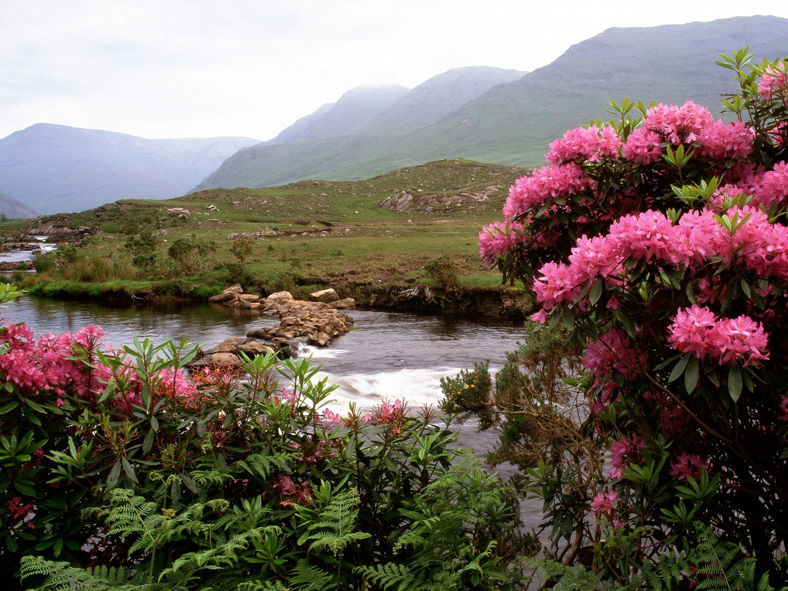 Rhododendrons Bloom Along the River Bundorragha Ireland