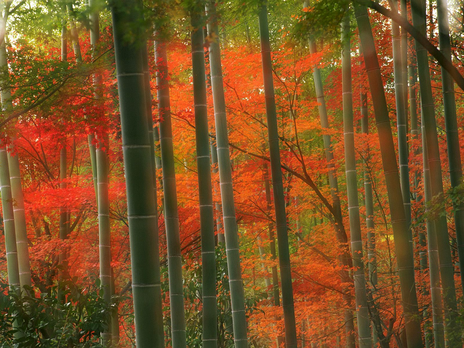 Bamboo forest arashiyama park kyoto japan picture bamboo for Bamboo wallpaper for walls