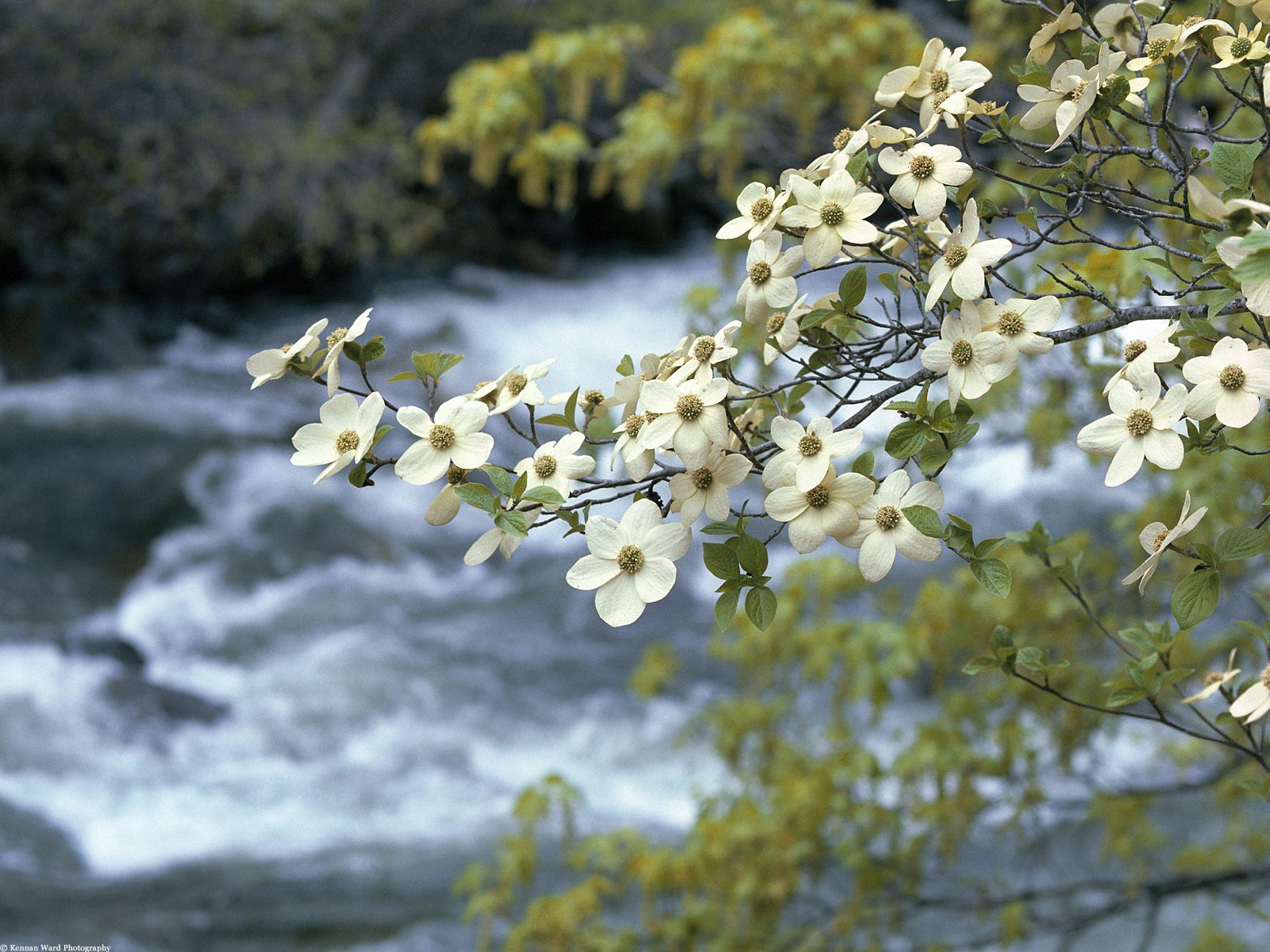 Dogwood Tree Blooms Yosemite California