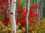 Aspens and Maples Colorado