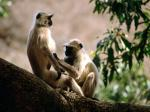 Langur Monkeys India