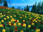 Field of Tulips Island of Mainau Germany